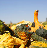 Gourds in a bunch Stock Photo