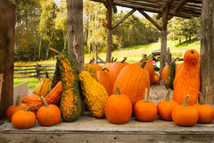 Gourds for Sale. Different types and shapes of gourds on a table displayed for sale from Fall harvest in a farm Royalty Free Stock Photo
