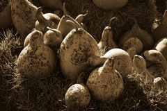 Gourds In Sepia. These are the wonderful gourds, Lagenaria siceraria, that are used to make purple martin houses, and things like boxes, and water dippers. These stock photos