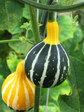 Gourds on the stams Stock Photography