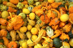 Gourds Thanksgiving Harvest royalty free stock photo