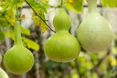 Gourds on a vine Stock Photos