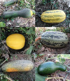 Gourds & Zucchinis. A collection of Gourds & Zucchinis Stock Photos