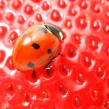 Gourmet del Ladybug Fotografie Stock