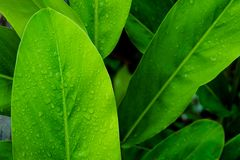 Goutte de feuille de l'eau verte après pluie Photo stock