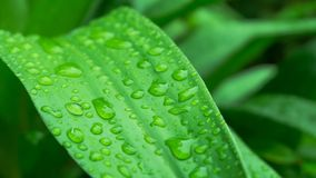 Goutte de feuille de l'eau verte après pluie Photos stock