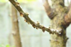 Goutte de l'eau sur la branche de groseille à maquereau d'étoile dans le jardin photos stock
