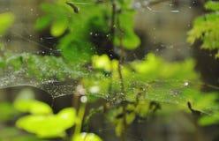 Goutte de l'eau sur le filet d'araignée dans le jardin photographie stock