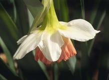 Goutte de pluie sur Daffodill photo libre de droits