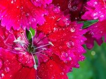 Goutte de pluie sur la fleur rose rouge d'arc-en-ciel Photographie stock