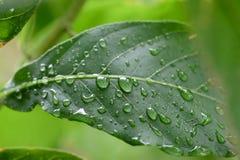 Goutte de pluie sur la lame verte Images libres de droits