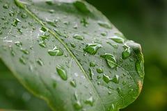 Goutte de pluie sur la lame verte Photos stock