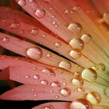 Gouttelettes d'eau sur la fleur de Mesembryanthemum Photographie stock libre de droits