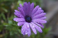 Gouttelettes d'eau sur la fleur pourpre Photos libres de droits