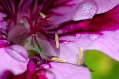 Gouttelettes d'eau sur la fleur rose Images stock