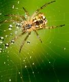 Gouttelettes d'eau sur une toile d'araignée avec l'araignée en nature Images stock