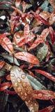 Gouttelettes de l'eau de pluie sur des feuilles photographie stock libre de droits