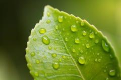gouttelettes sur la lame verte Images stock