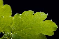Gouttelettes vertes de congé et d'eau Images libres de droits