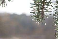 Gouttes de l'eau sur des branches Image libre de droits