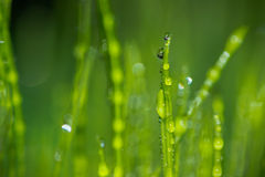 Gouttes de l'eau sur l'herbe verte fraîche Photo libre de droits