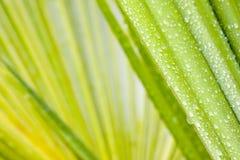 Gouttes de l'eau sur la lame d'un palmtree Photos stock