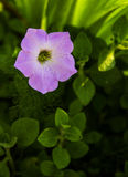 Gouttes de l'eau sur le pétunia rose Photos stock