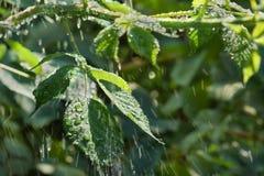 Gouttes de pluie d'été sur les feuilles Images stock