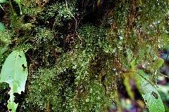 Gouttes de pluie et mousse au centre biologique de Las Quebradas photographie stock