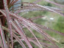 Gouttes de pluie miroitant sur le Dracaena Marginata 'tricolore Photos stock