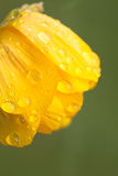 Gouttes de pluie ou rosée sur la globe-fleur de fleurs image stock
