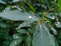 Gouttes de pluie sur de belles feuilles vertes d'une usine photographie stock libre de droits