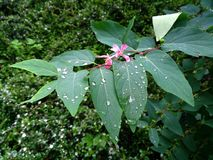 Gouttes de pluie sur de belles feuilles vertes d'une usine image libre de droits