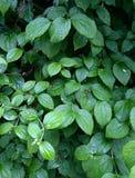 Gouttes de pluie sur de belles feuilles vertes d'une usine photo stock