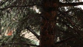 Gouttes de pluie sur des branches de pin banque de vidéos