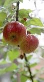 Gouttes de pluie sur des pommes dans un arbre Images stock