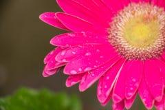 Gouttes de pluie sur la fleur rose Photo libre de droits
