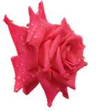 Gouttes de pluie sur la fleur rose de rouge d'isolement sur le blanc Photos stock