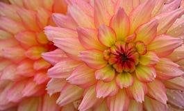 Gouttes de pluie sur la fleur rose et jaune Images stock