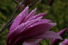 Gouttes de pluie sur la magnolia Photo stock