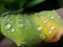 Gouttes de pluie sur le mineur de lemna Photographie stock