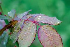 Gouttes de pluie sur les feuilles d'un rosier Temps pluvieux d'automne photo libre de droits