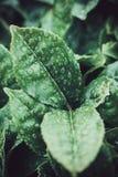Gouttes de pluie sur les feuilles de thé à la plantation de thé européenne aux îles des Açores au Portugal par le temps pluvieux Images stock