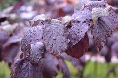Gouttes de pluie sur les feuilles luxuriantes Image stock