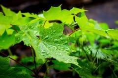 Gouttes de pluie sur les feuilles vertes d'érable La pluie est en bois Le jeune GR Image libre de droits