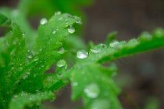 Gouttes de pluie sur les feuilles vertes d'un plan rapproché d'usine Images stock
