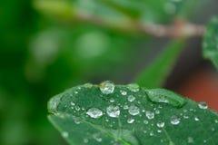 Gouttes de pluie sur les feuilles vertes d'un plan rapproché d'usine Photos stock