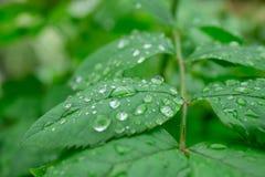 Gouttes de pluie sur les feuilles vertes d'un plan rapproché d'usine Images libres de droits