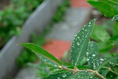 Gouttes de pluie sur les feuilles vertes d'un plan rapproché d'usine Photographie stock