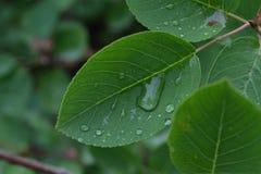 Gouttes de pluie sur les feuilles vertes pendant le début de la matinée Photographie stock